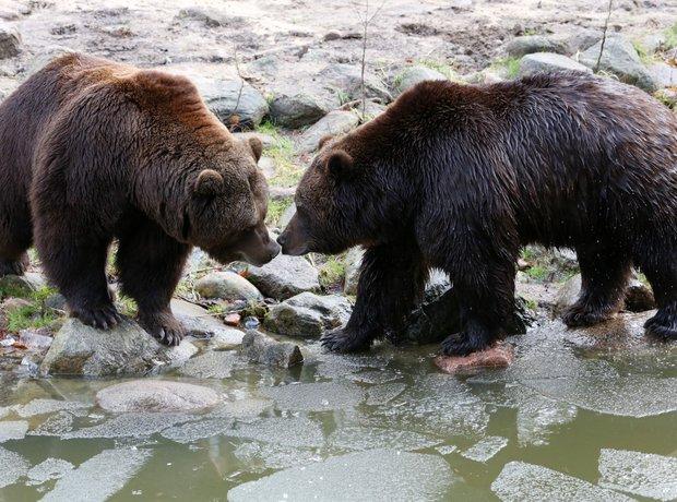 Cute Brown bears