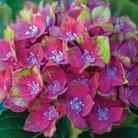 CFM Gardening Hydrangea Glam Rock