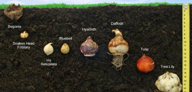 CFM Gardening: planting bulbs